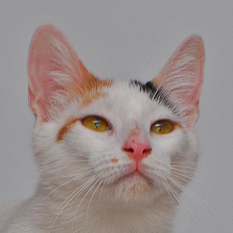 aphrodite cat Pippin of Parakleishia