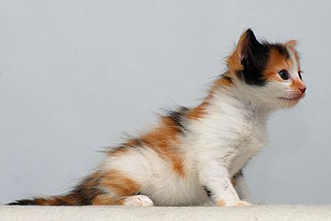 Aphrodite kittens